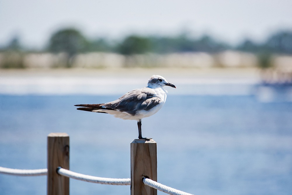 Seagull Standing On Post Overlooking Water