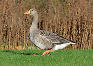 Greylag Goose - Anser anser. L 75-90cm. Largest Anser goose and only one that breeds in Britain. Feral populations confuse species' wild status. Compared to other 'grey' geese, bulky and more uniformly grey-brown. Pink legs and heavy, pinkish orange bill help with identification. In flight, pale forewings, rump and tail contrast with darker flight feathers. Sexes are similar. Adult is greyish with dark lines on side of neck, barring on flanks and pale margins to back feathers. Bill is pale-tipped. Juvenile is more uniformly grey-brown than adult and bill lacks pale tip. Voice Utters loud, honking calls. Status Locally common resident, mainly in N. Wild migrants boost numbers in winter. Favours wetlands and reservoirs with adjacent grassland.