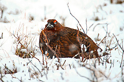 A Red Grouse in the Cairngorms hunkers down the as Storm Doris hits the UK. 23rd Feb 2017 (c) Brian Anderson   Edinburgh Elite media
