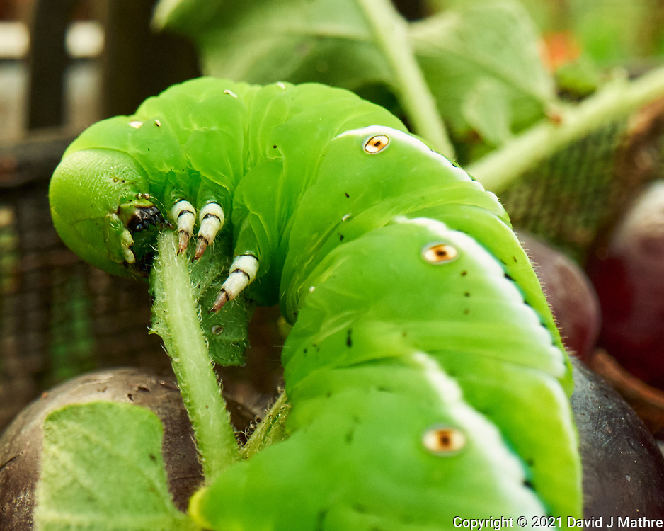 Tomato Hornworm Caterpillar feeding on a Potato Plant.  Image taken with a Leica SL2s camera and Loawa 24 mm f/14 macro lens.