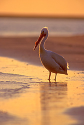 Stock photo of a White pelican(Pelecanus onocrotalus)wading in coastal waters at sunset