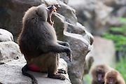 A male hamadryas baboon (Papio hamadryas) showing canine teeth in the a threat display. Captive. Range: semi-arid plains and rocky hills in Ethiopia, Somalia, Saudi Arabia, and Yemen.