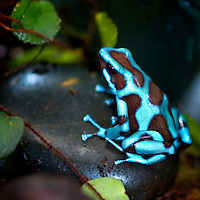 Blue and Black Poison Dart Frog  (Dendrobates auratus)