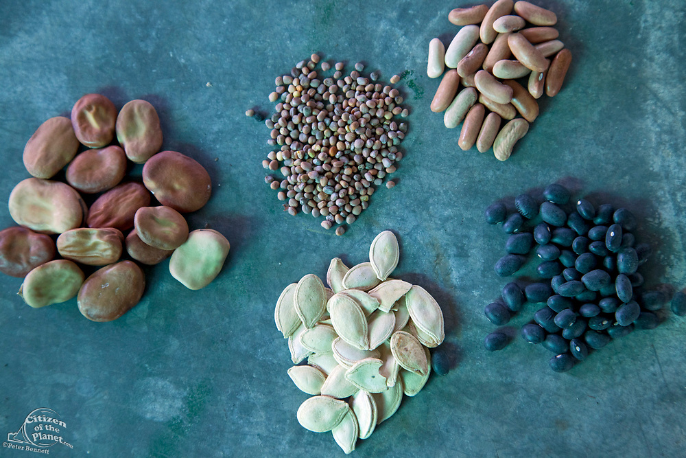 (Clockwise from left) Broad Windsor Fava Beans seeds, French Breakfast Radish seeds (Raphanus sativus), Bush Bean Contender seeds (Phaseolus vulgarus), Black Turtle Bean seeds and Jack O' Lantern Pumpkin seeds (Cucurbita pero) from the Seed Library of Los Angeles. The Seed Library of Los Angeles (SLOLA) is located at the Learning Garden at Venice High School. Lifetime membership is $10 and allows members to take out seeds, plant and grow their crop, and then at the end of the season, return fresh seeds from their crop to the Library. The process enables fresh seeds to be constantly replenishing the library and protects the genetic purity of the seeds as well by asking members to take the Safe Seed Pledge, keeping the Library free from GMO (genetically modified organisms) seeds.