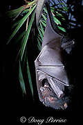 black flying fox, Pteropus alecto, (c)<br /> hanging upside-down from palm frond,<br /> Queensland, Australia