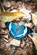 Panacea Prola Amazonica, Butterfly in Manu National Park, Peru, South America