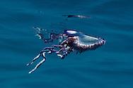 Portuguese man-of-war, Physalia physalis, Siphonofora, jellyfish like animal, Pico, Azores, Portugal