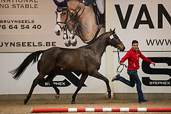 013, Saturday van't Gebergte<br /> BWP Hengstenkeuring 2021<br /> © Hippo Foto - Dirk Caremans<br />  11/01/2021