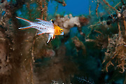 Underwater photography of a Lyretail hogfish (Bodianus anthioides) Photographed in the Red Sea Israel