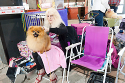 © Licensed to London News Pictures. 18/08/2017. Llanelwedd, Powys, UK. A Pomerainian waits for judging to start on the first day of The Welsh Kennel Club Dog Show, held at the Royal Welsh Showground, Llanelwedd in Powys, Wales, UK. Photo credit: Graham M. Lawrence/LNP
