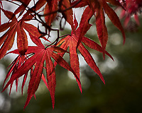 Backlit spring red Maple leaves.  Image taken with a Leica CL camera and 60 mm f/2.8 lens (ISO 100, 60 mm, f/4.5, 1/400 sec).