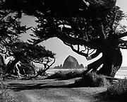 Y-510520-01.  Haystack Rock, old trees, Cannon Beach. May 20, 1951