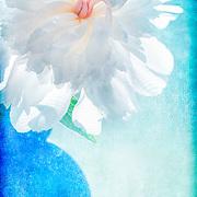 Festiva Maxima white peony bloom, backlit by window, in blue vase. Textured background.