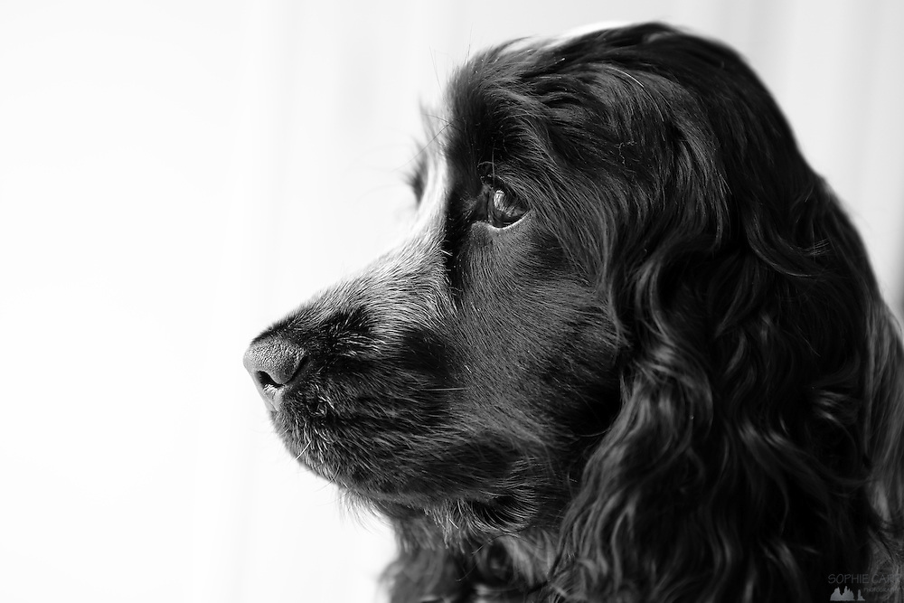 Henry the blue roan cocker spaniel at 11 months old