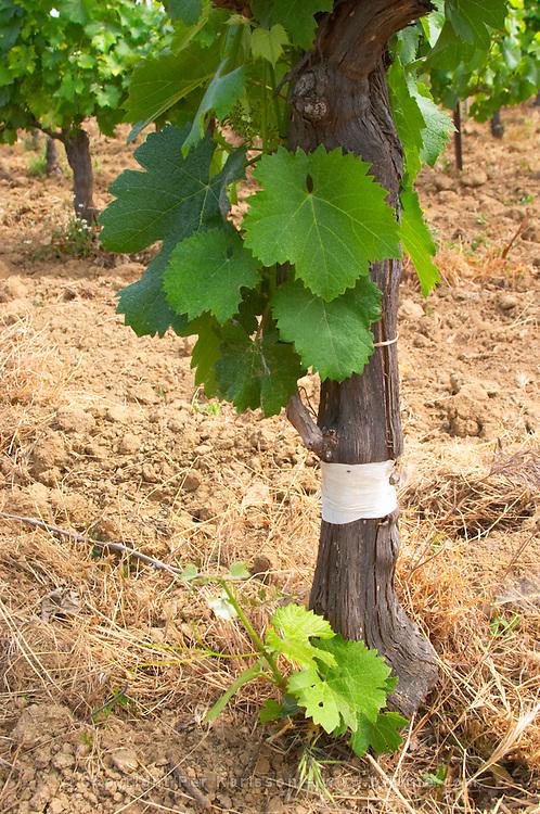 Domaine Clos Marie. Pic St Loup. Languedoc. Field-grafted (surgreffe, surgreffage) vines. Vine leaves. France. Europe. Vineyard.