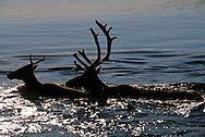 Caribou, Rangifer tarandus, Kubuk Valley National Park, Alaska, USA