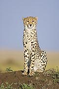 Cheetah <br /> Acinonyx jubatus<br /> Young male<br /> Masai Mara Conservancy, Kenya