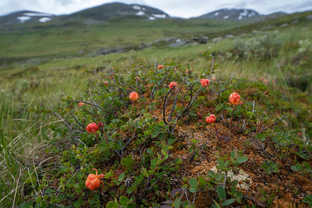 Cloudberry, Rubus chamaemorus, Kungsleden, Abisko national park, Lapland, Norrbotten, Sweden