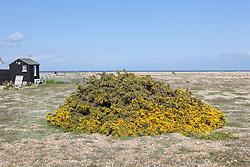 Gorse growing at Dungeness, Kent. Ulex europaeus