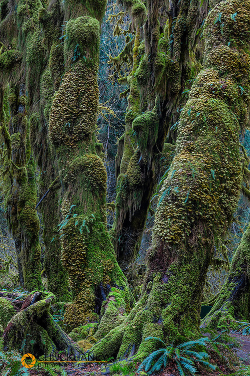 Hall of Mosses in the Hoh Rainforest of Olympic National Park, Washinton, USA