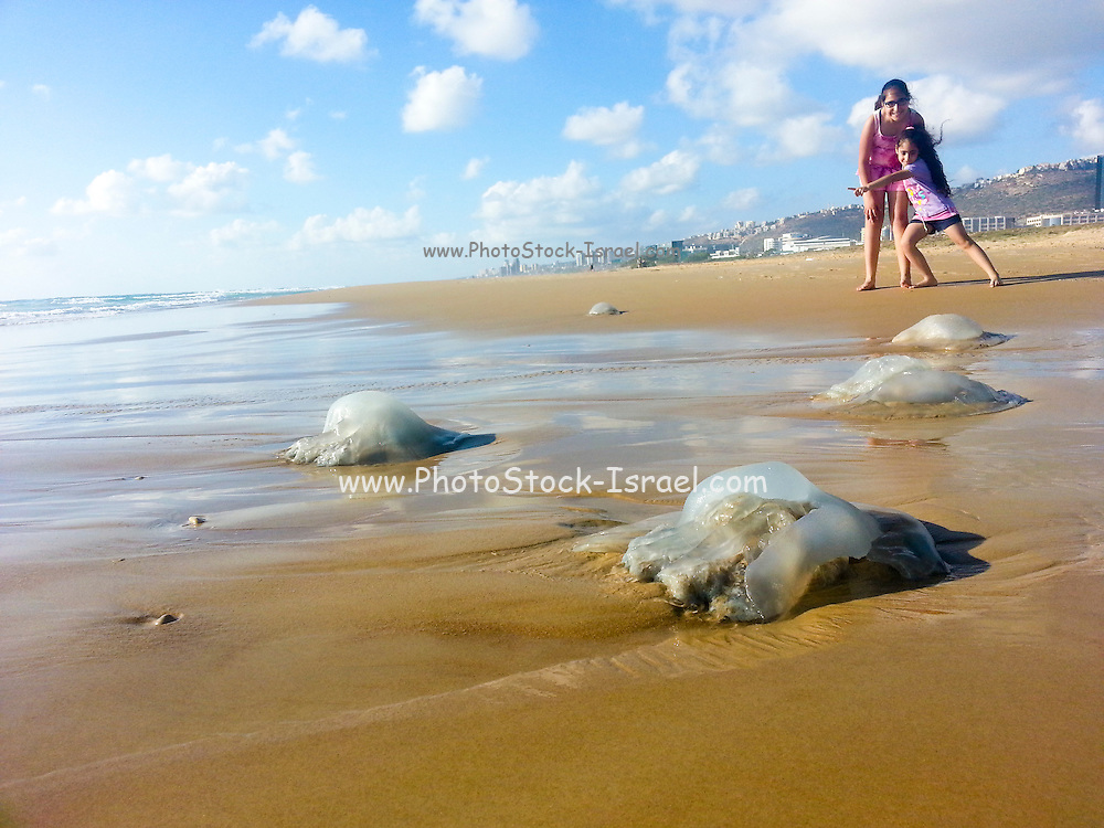 Two excited children near a Rhopilema nomadica Jellyfish (a toxic Indo-Pacific variety recently migrated the Mediterranean Sea) on the beach. This jellyfish has caused much anguish to bathers and holiday makers. Photographed in Haifa, Israel in June