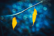 Two yellow leaves on a twig in late autumn - textured photograph