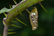 Orange-spotted Tiger Clearwing Chrysalis (Mechanitis polymnia) CAPTIVE<br /> Butterfly Farm<br /> Iwokrama Forest Reserve<br /> GUYANA<br /> South America