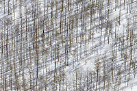 Aspen trees standing in the snow on Cascade Mountain
