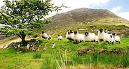 Mayo Sheep Group Images