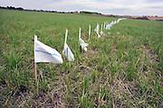 Nederland, Nijmegen, 2-7-2012Vlaggetjes geven de toekomstige loop van de rivier de Waal aan in het gebied ten noorden van der stad. Gebied van de voorgenomen dijkverlegging, verlegging van de dijk, teruglegging, om de rivier de Waal in de scherpe bocht bij Nijmegen meer ruimte te geven bij hoogwater dmv een extra geul.  Voorafgaand aan dit project wordt eerst archeologisch onderzoek gedaan.Foto: Flip Franssen/Hollandse Hoogte