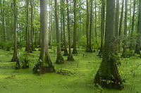 This swamp is among the northernmost cypress swamps in the country. It is one of the most unique sites in Illinois and it makes you feel like you're in the deep south. The Heron Pond trail takes you to a boardwalk where you can see the swamp up close. <br /> <br /> Date Taken: July 23, 2014