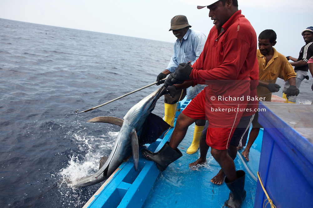 Tuna fishermen drag a thrashing sailfish on to the deck of a traditional dhoni fishing boat on the Indian Ocean, Maldives.