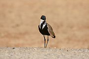Spur-winged Lapwing (Vanellus spinosus) standing by the water, Photographed in Israel in January