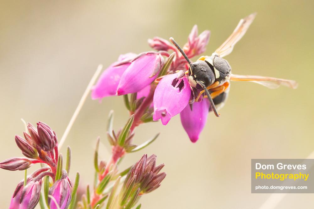 Purbeck mason wasp (pseudepipona herrichii) male nectaring on bell heather. Dorset, UK.