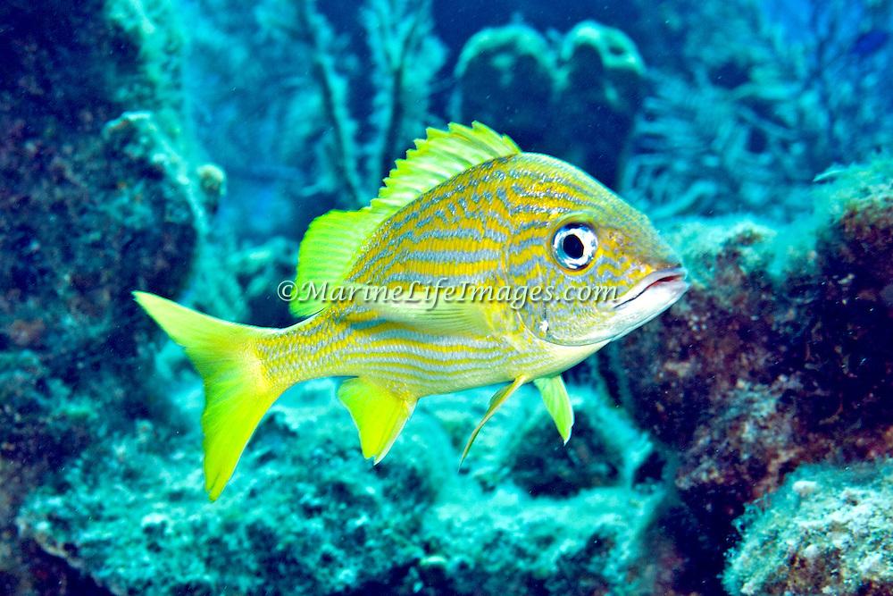 French Grunt inhabit reefs in Tropical West Atlantic; picture taken Grand Turk.