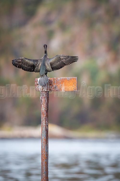 Skarv på en stang | Cormorant on a pole