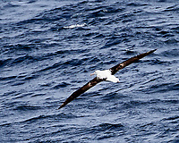 Northern Royal Albatross (Diomedea epomophora). South Atlantic Ocean. Viewed from the deck of the Hurtigruten MS Fram. Image taken with a Nikon Df camera and 80-400 mm lens.