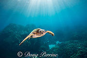 green sea turtle or honu, Chelonia mydas, swimming over coral reef, Honaunau, South Kona, Hawaii, USA ( Central Pacific Ocean )