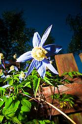 Clematis flowering in the Scottish sunlight in a garden in Falkirk...