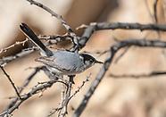 Black-tailed Gnatcatcher, Polioptila melanura