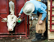 PRICE CHAMBERS / NEWS&GUIDE<br /> Chase Lockhart gives a calf a haircut to keep the ear tag visible.