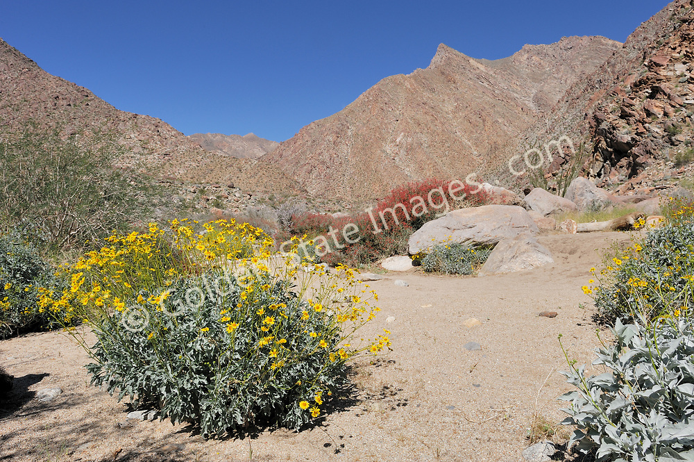 A brittlebush in Palm Canyon in Anza Borrego Desert.<br /> <br /> Anza Borrego Desert is California's largest state park, covering 600,000 acres of terrain including desert badlands, palm canyons, twisting slot canyons, wildflower displays and cactus. The badlands are covered with ever changing hills and ruts, and mysterious formations. <br /> <br /> Geologists and paleontologists believe this parched desert was once underwater, and home to fish, sea turtles, and sharks.  Remnants of its former life can be found, including seashell fossils.<br /> <br /> Species: Encelia farinosa