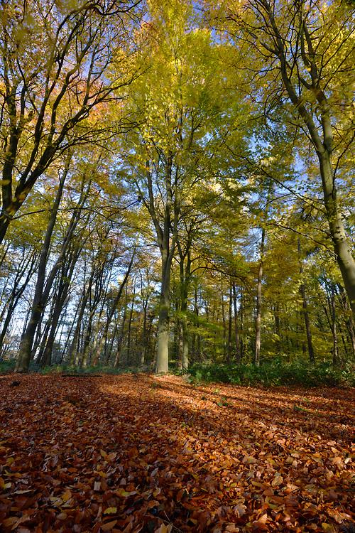 Autumn Beech, Stoke Wood, Oxfordshire