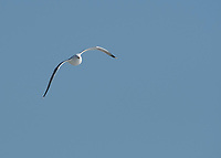 Western Gull, Larus occidentalis, flying along the Pacific Coast in Sonoma County, California