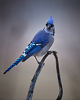 Blue Jay. Image taken with a Nikon D5 camera and 600 mm f/4 VR lens (ISO 1600, 600 mm, f/4, 1/400 sec)
