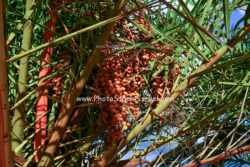 close up of Dates on a palm tree, Photographed on the Greek Island of Cephalonia, Ionian Sea, Greece