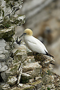 UK - Monday, Jul 14 2008: A Northern Gannet (Morus bassanus) sits on a nest on the ledge of a cliff with a chick. Northern Gannets are seabirds in the family Sulidae and are closely related to the boobies. (Photo by Peter Horrell / http://www.peterhorrell.com)