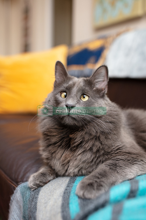 """*VIDEO AVAILABLE: info@cover-images.com*<br /> <br /> A cross-eyed rescue cat is using his unusual looks to raise thousands of dollars for charity. <br /> <br /> Belarus has been blighted with a 'confused' expression thanks to a condition called strabismus. <br /> <br /> He lives in San Francisco with owner Rachel Krall, who adopted him from a shelter after seeing him online. <br /> <br /> He was surrendered to San Francisco Animal Care & Control (SFACC) by his previous family, due to landlord issues <br /> <br /> Rachel explains: """"He is a very active and extremely curious cat.  He loves to play with balls, twist ties, and almost any other small object he can get his paws on.  He seems highly intelligent and doesn't let his wonky eyes slow him down."""" <br /> <br /> """"Dr Travis Strong partnered with us to share more about strabismus, which is the medical term for the eye condition he has. It just means that the muscles that hold his eyes in place may have an abnormal position or may be damaged, causing the gaze to be displaced.  This condition doesn't cause pain and hasn't impacted his day-to-day. <br /> <br /> """"Since his adoption, we have raised and donated $1000's to animal charities to help other animals in need through his online presence.  In 2019, we partnered with Friends of SFACC, Cat Town of Oakland, and Sonoma Community Animal Response Team."""" <br /> <br /> Belarus merchandise:  http://www.belarusthecat.com/merchandise/<br /> <br /> Where: San Francisco, United States<br /> When: 24 Mar 2020<br /> Credit: my_boy_belarus/Cover Images<br /> <br /> **MANDATORY CREDIT: Rachel Krall/Cover Images. Only for use in this story. Editorial Use Only. No stock, books, advertising or merchandising without photographer's permission**"""