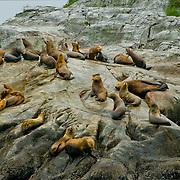 North America, United States, US, Northwest, Pacific Northwest, West, Alaska, Glacier Bay, Glacier Bay National Park, Glacier Bay NP. Stellar's sea lions in Glacier Bay National Park and Preserve, Alaska.