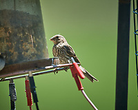 Immature House Finch (?). Image taken with a Nikon D5 camera and 600 mm f/4 VR telephoto lens (ISO 200, 600 mm, f/4, 1/1250 sec).